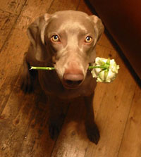 Brown dog looking up with flower in mouth