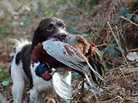gundog working