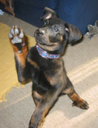 puppy holding up paw waving